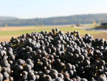 Traubenanlieferung Herbst 2019 Rimuss & Strada Wein AG